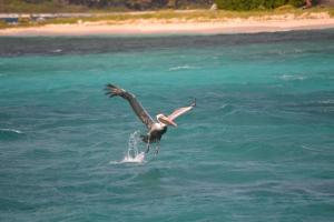 Pelikan på Sandy Island