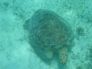 Sköldpaddan betar av gräset på havsbotten