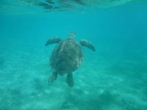 Ibland måste skölpaddan upp till ytan  för att få luft