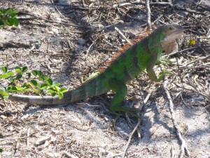 Leguan på Tobago Cays