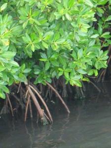 Om en orkan närmar sig kan man åka in i mangroven och förtöja där. Detta är godkänt av försäkringsbolagen.