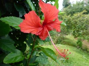 En annan Hibiscus
