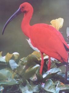 The Scarlet Ibis - avfotograferat från guideboken