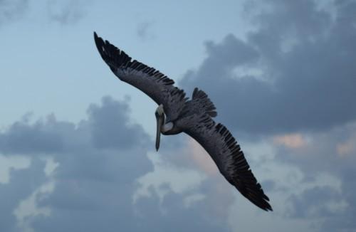 Pelikan på Marina Cay