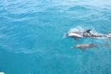 Delfiner på väg mot Anegada 2015
