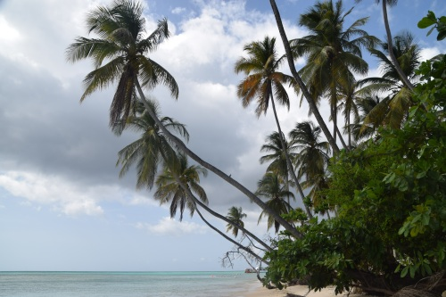 Tobago palm (5)