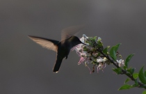 Kolibri fotad av Erik